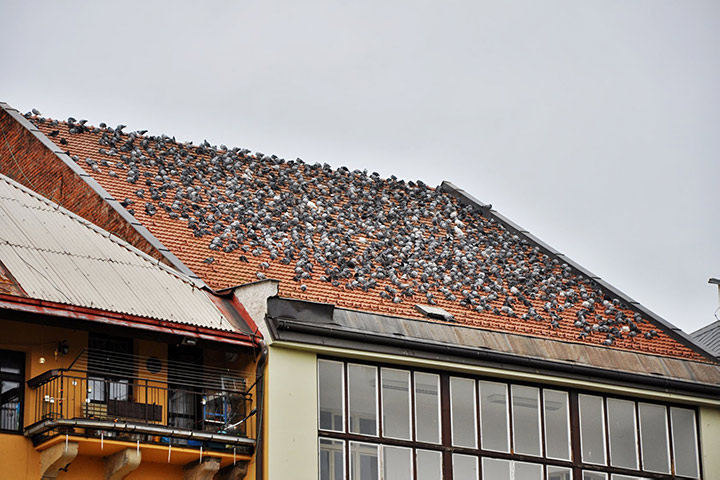 A2B Pest Control are able to install spikes to deter birds from roofs in Hampstead.